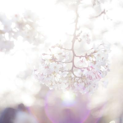 「桜-期待感」の写真素材