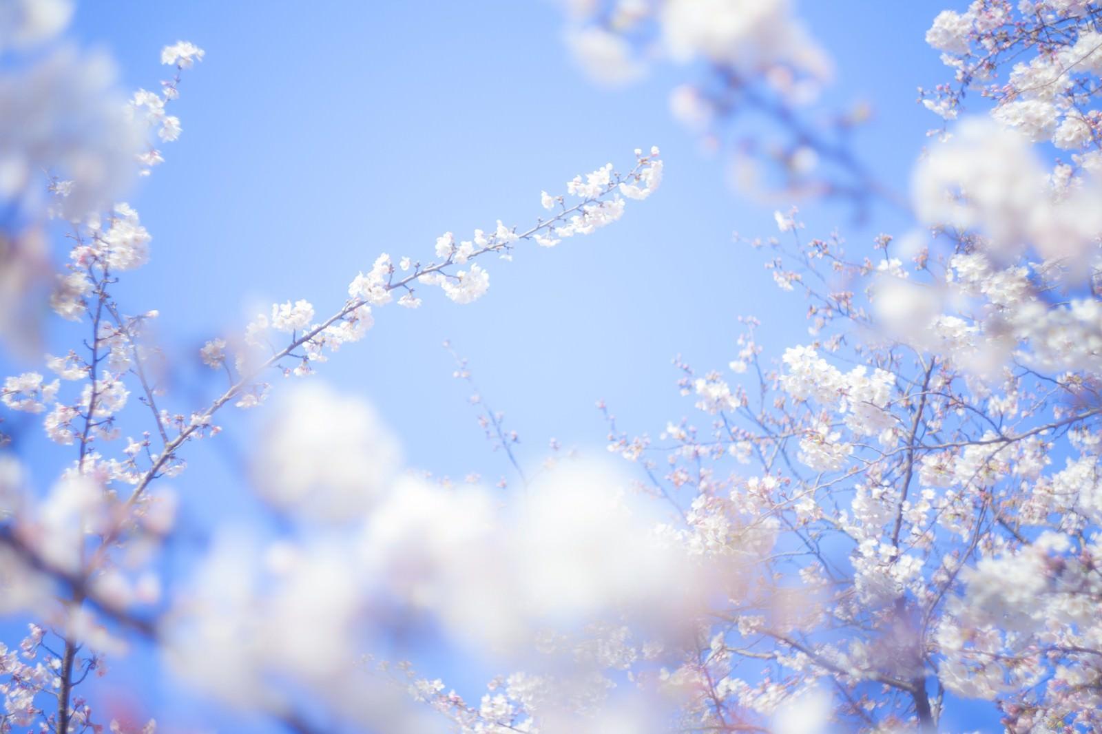 「桜-旅立ち」の写真