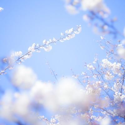 「桜-旅立ち」の写真素材