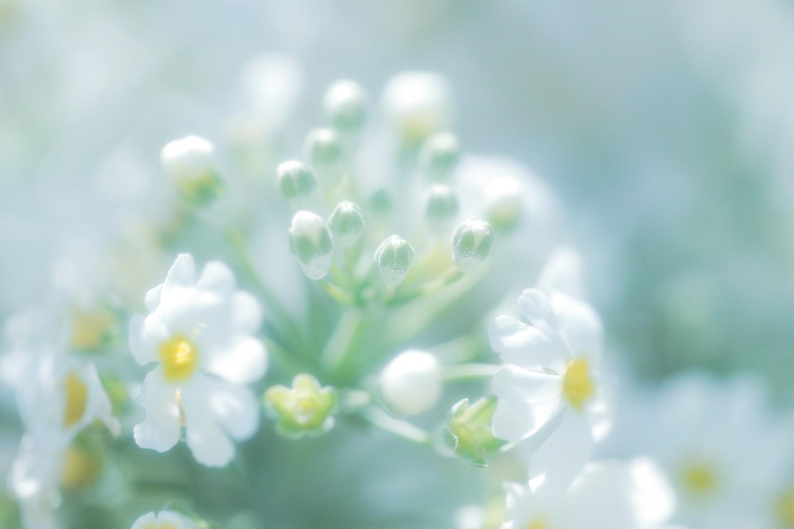 「あわくはかない花の気持ち」の写真