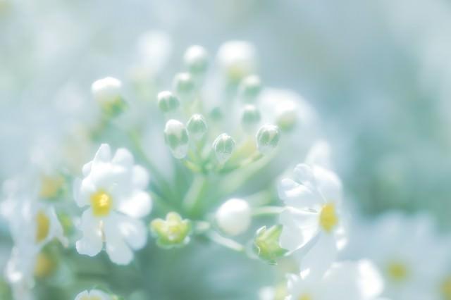 あわくはかない花の気持ちの写真