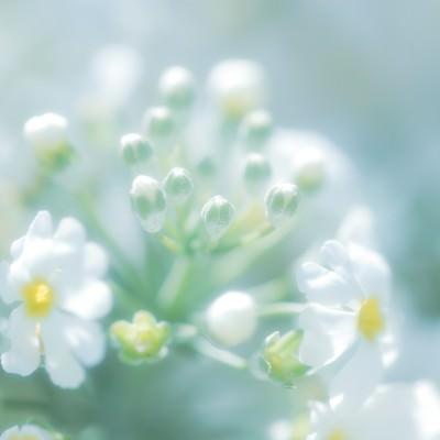 「あわくはかない花の気持ち」の写真素材