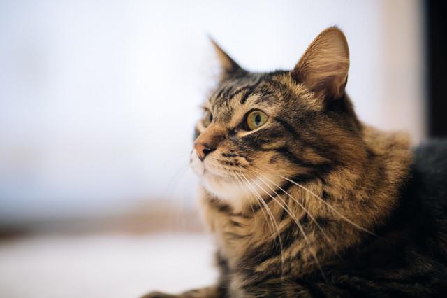 毛艶がいい飼い猫の写真