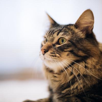 「毛艶がいい飼い猫」の写真素材