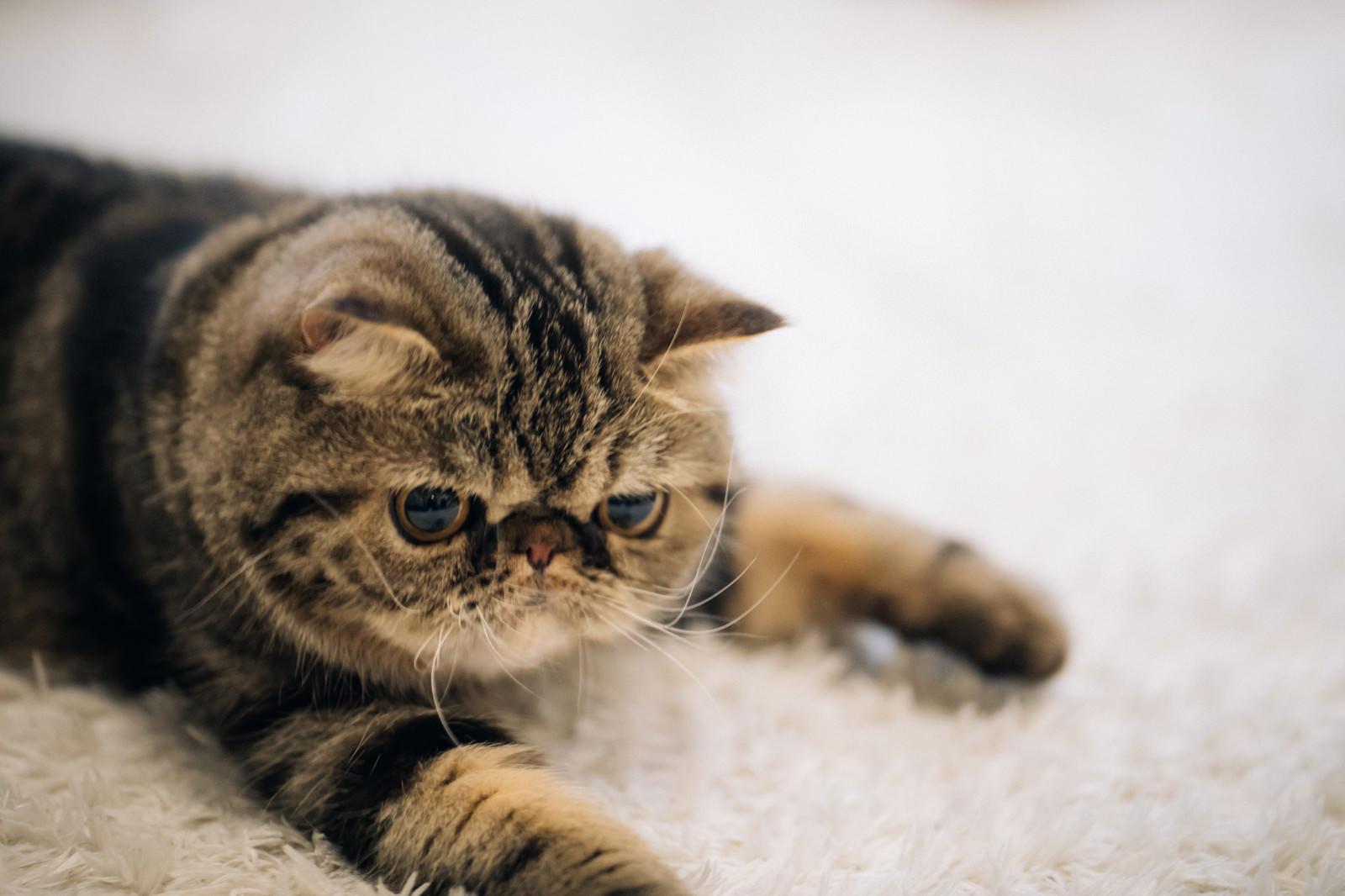 「潰れた顔が愛くるしいエキゾチックショートヘア(猫)」の写真