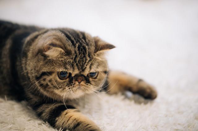 潰れた顔が愛くるしいエキゾチックショートヘア(猫)の写真