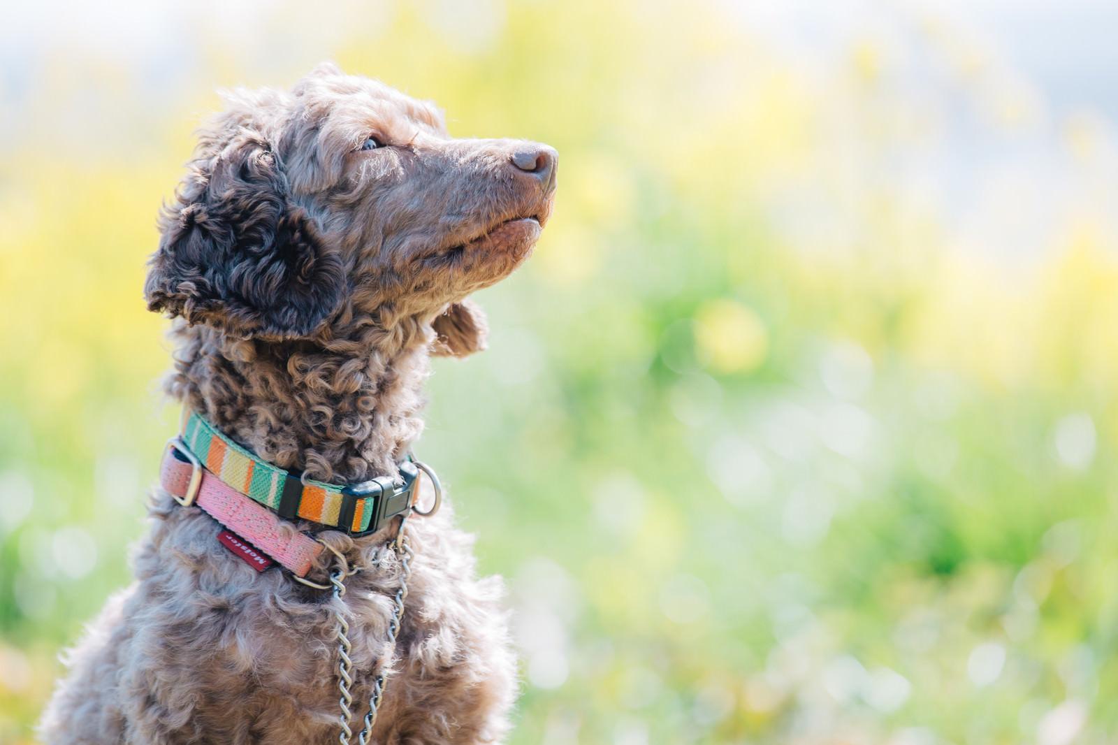 「飼い主の言うことを聞く、しつけのできた犬」の写真