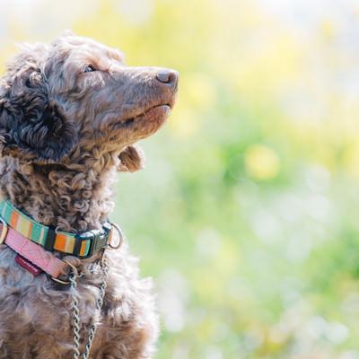 「飼い主の言うことを聞く、しつけのできた犬」の写真素材