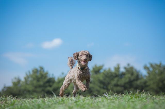 草原を走り回る小型犬の写真