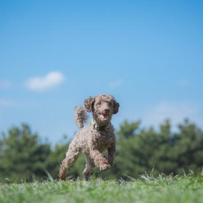 「草原を走り回る小型犬」の写真素材