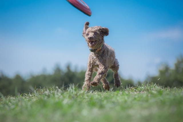 フリスビーキャッチまでもうすぐ(ダッシュする小型犬)の写真