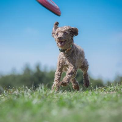「フリスビーキャッチまでもうすぐ(ダッシュする小型犬)」の写真素材