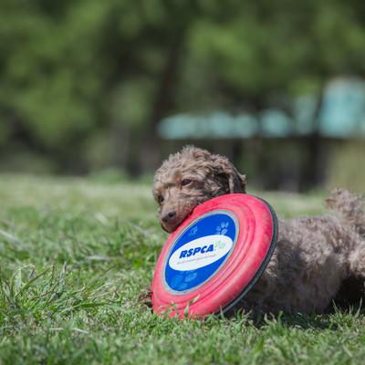 「フリスビーを咥えた犬」の写真素材