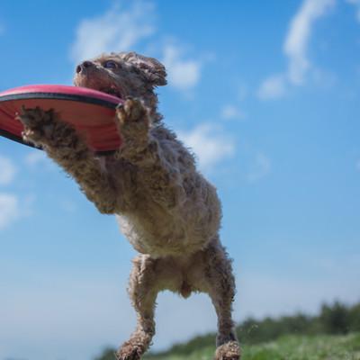 「フリスビードッグの瞬間」の写真素材