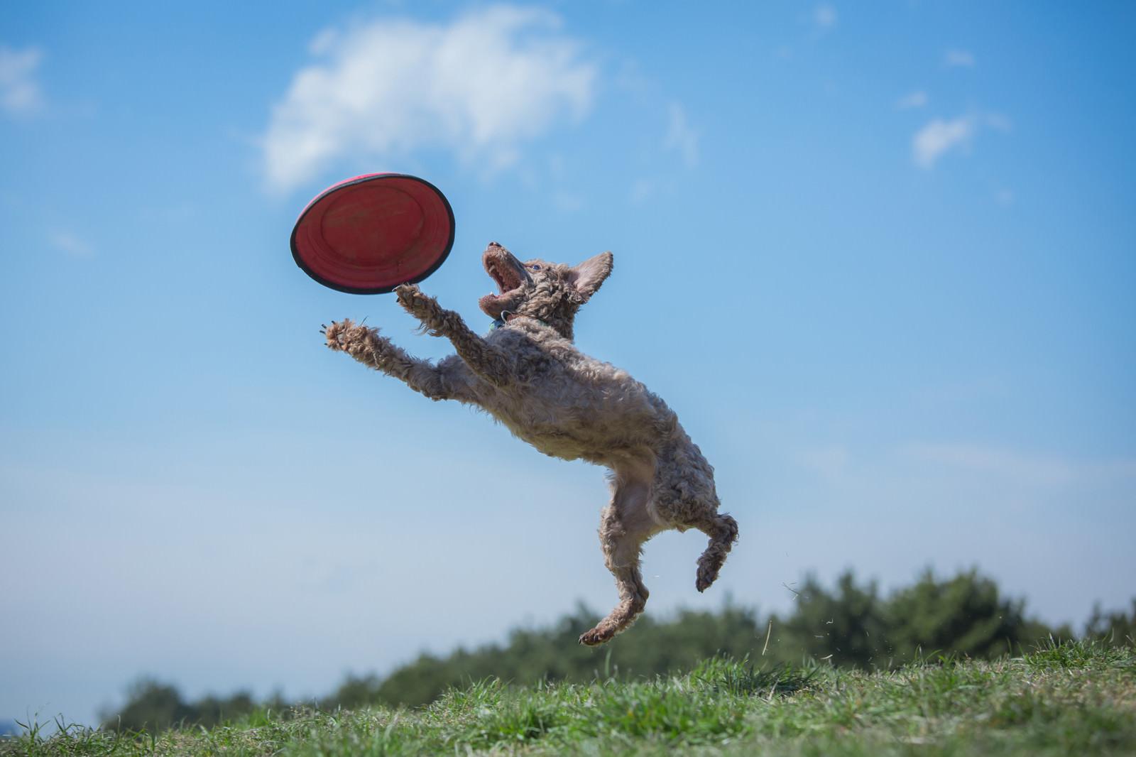 「ドッグスポーツの一種「フリスビードッグ」」の写真