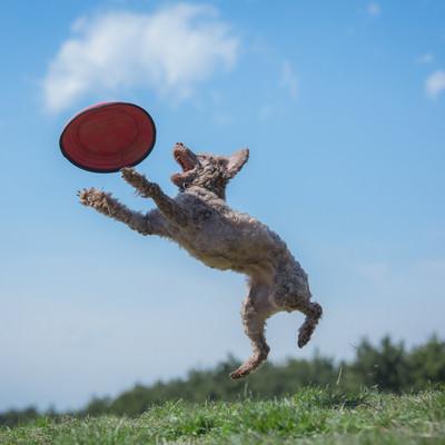 ドッグスポーツの一種「フリスビードッグ」の写真