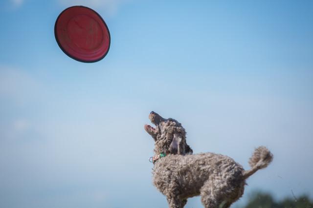 飛んできたフリスビーをキャッチしようと構えるわんちゃんの写真