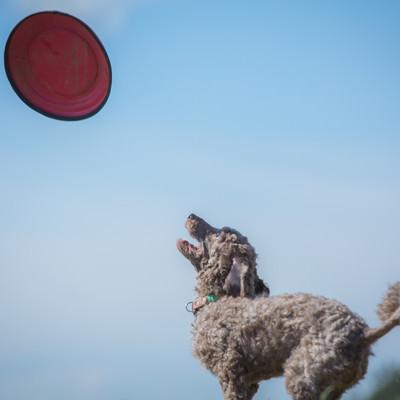「飛んできたフリスビーをキャッチしようと構えるわんちゃん」の写真素材