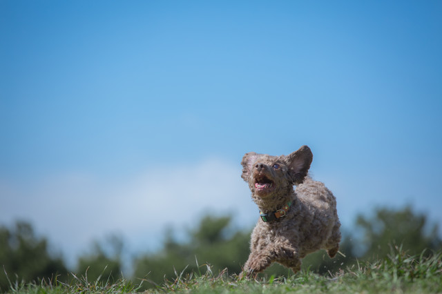 草原を駆け巡るわんこの写真