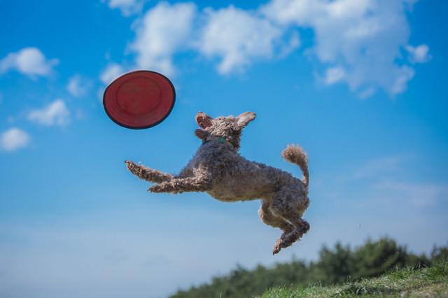 犬と一緒にフリスビーで遊ぶの写真