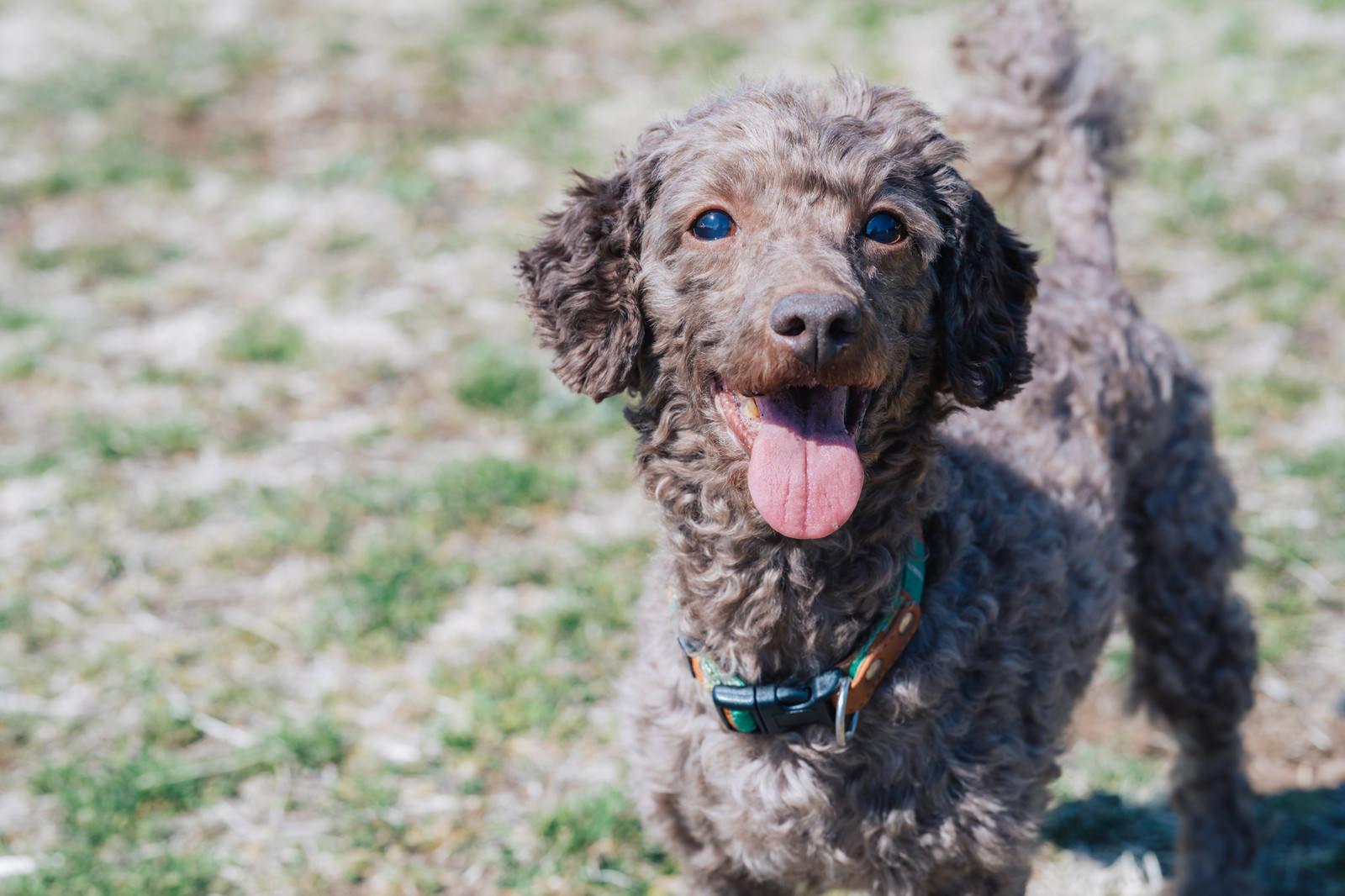 「つぶらな瞳で飼い主を見つめる犬」の写真