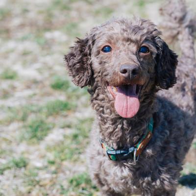 つぶらな瞳で飼い主を見つめる犬の写真