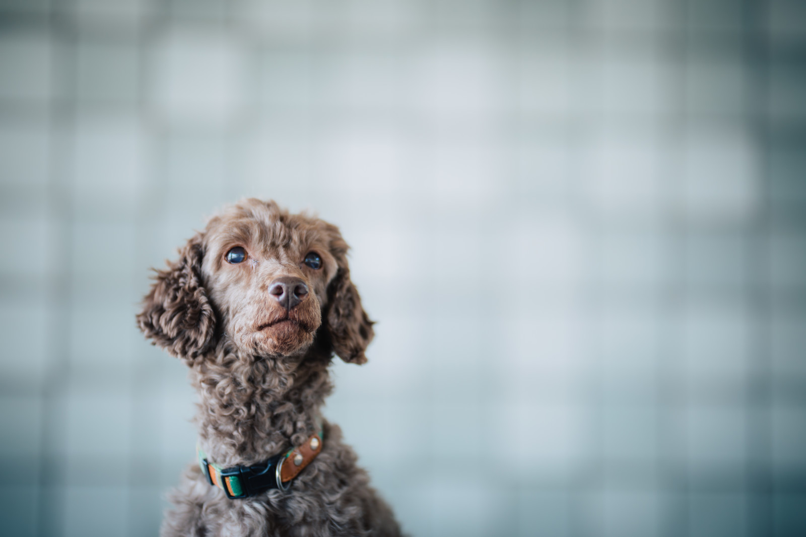 「上を見上げる犬」の写真