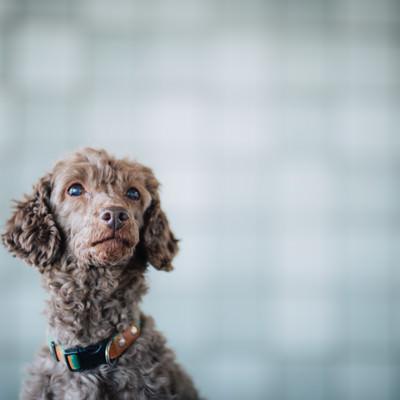 「上を見上げる犬」の写真素材
