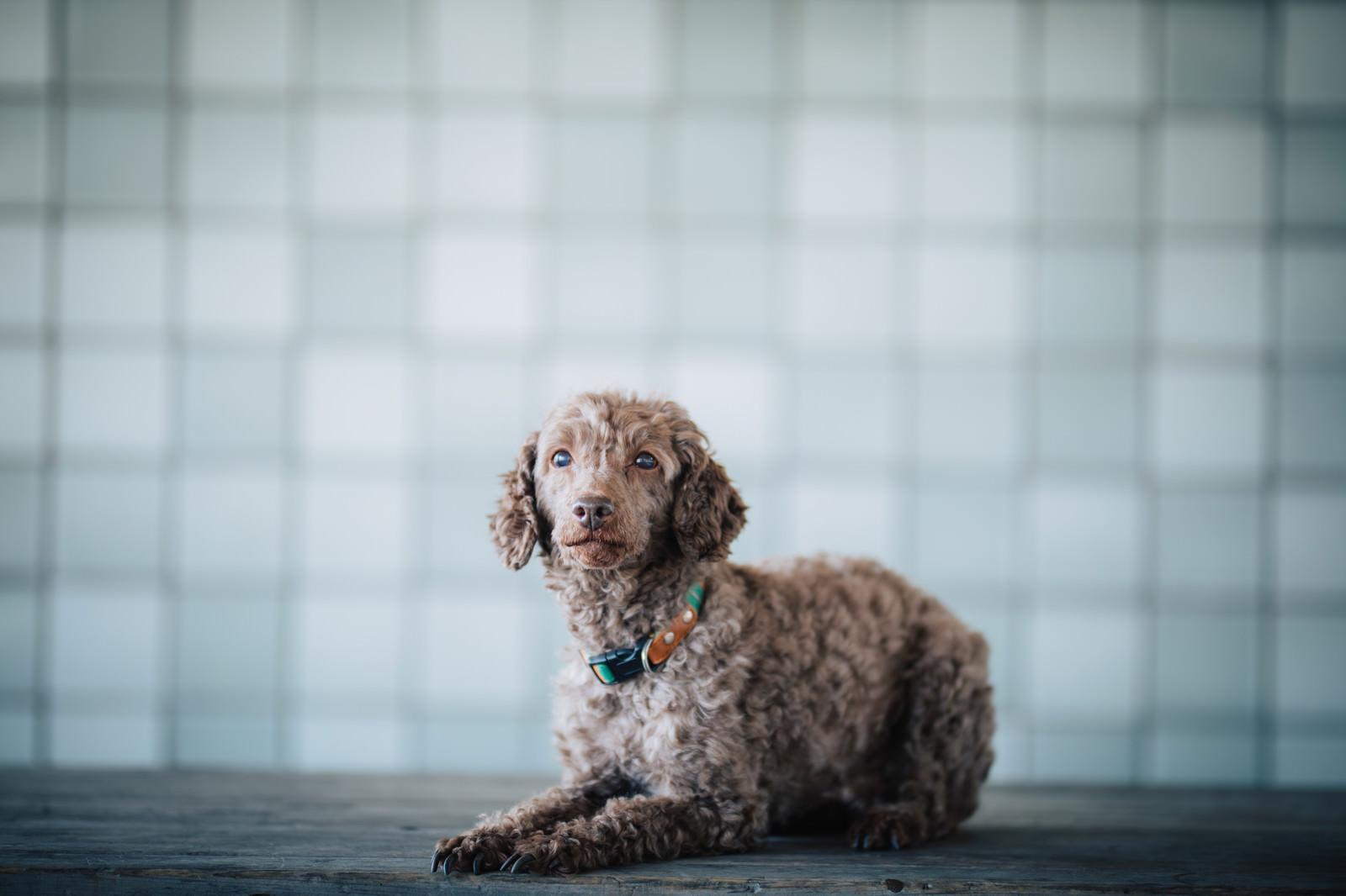 「「おすわり」するしつけの出来た犬「おすわり」するしつけの出来た犬」のフリー写真素材を拡大