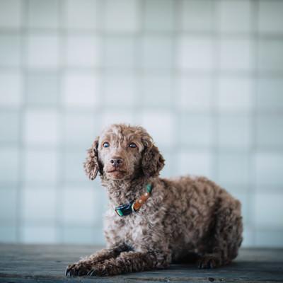 「おすわり」するしつけの出来た犬の写真