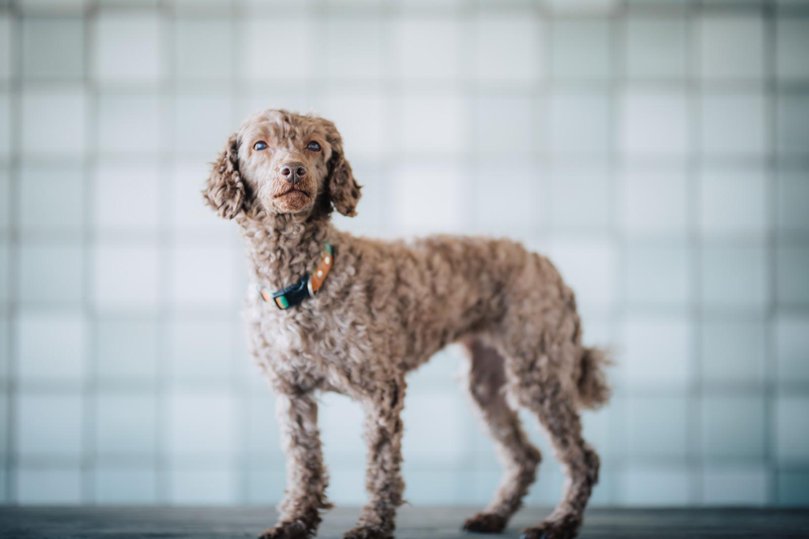 「紳士的な態度をとる犬」の写真