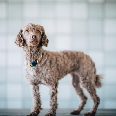 「紳士的な態度をとる犬」の写真素材