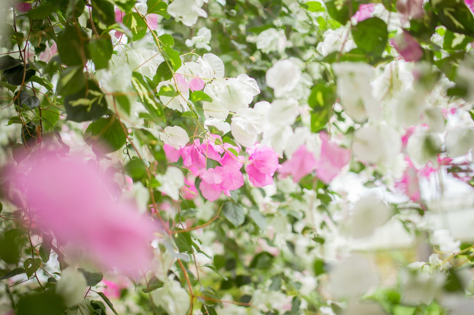 「ブーゲンビレアの花」の写真