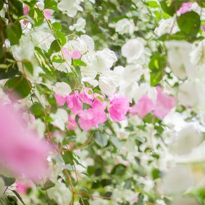 ブーゲンビレアの花の写真
