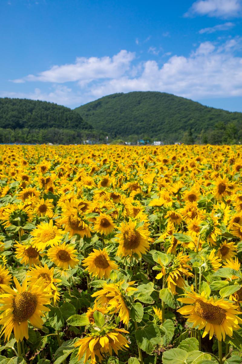 「空と山とひまわり畑」の写真