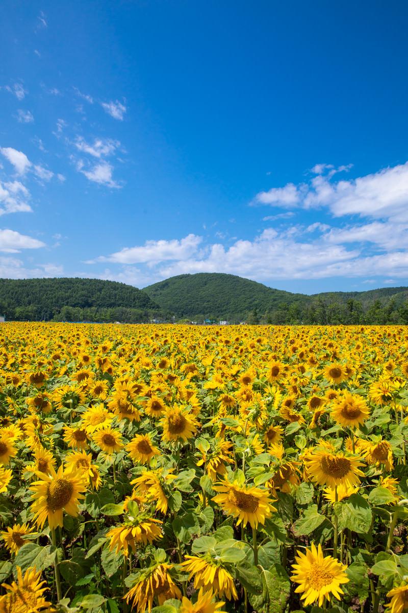 網走大曲湖畔園地のひまわり畑の写真 画像 フリー素材 ぱくたそ