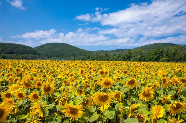 青空と向日葵畑(網走大曲湖畔)の写真