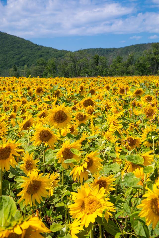 夏の空の下に咲く向日葵畑の写真