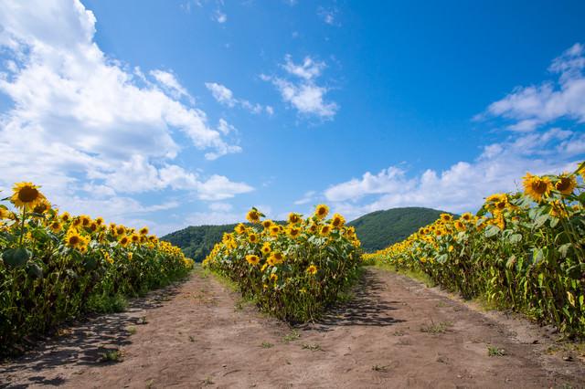 向日葵畑の分かれ道の写真