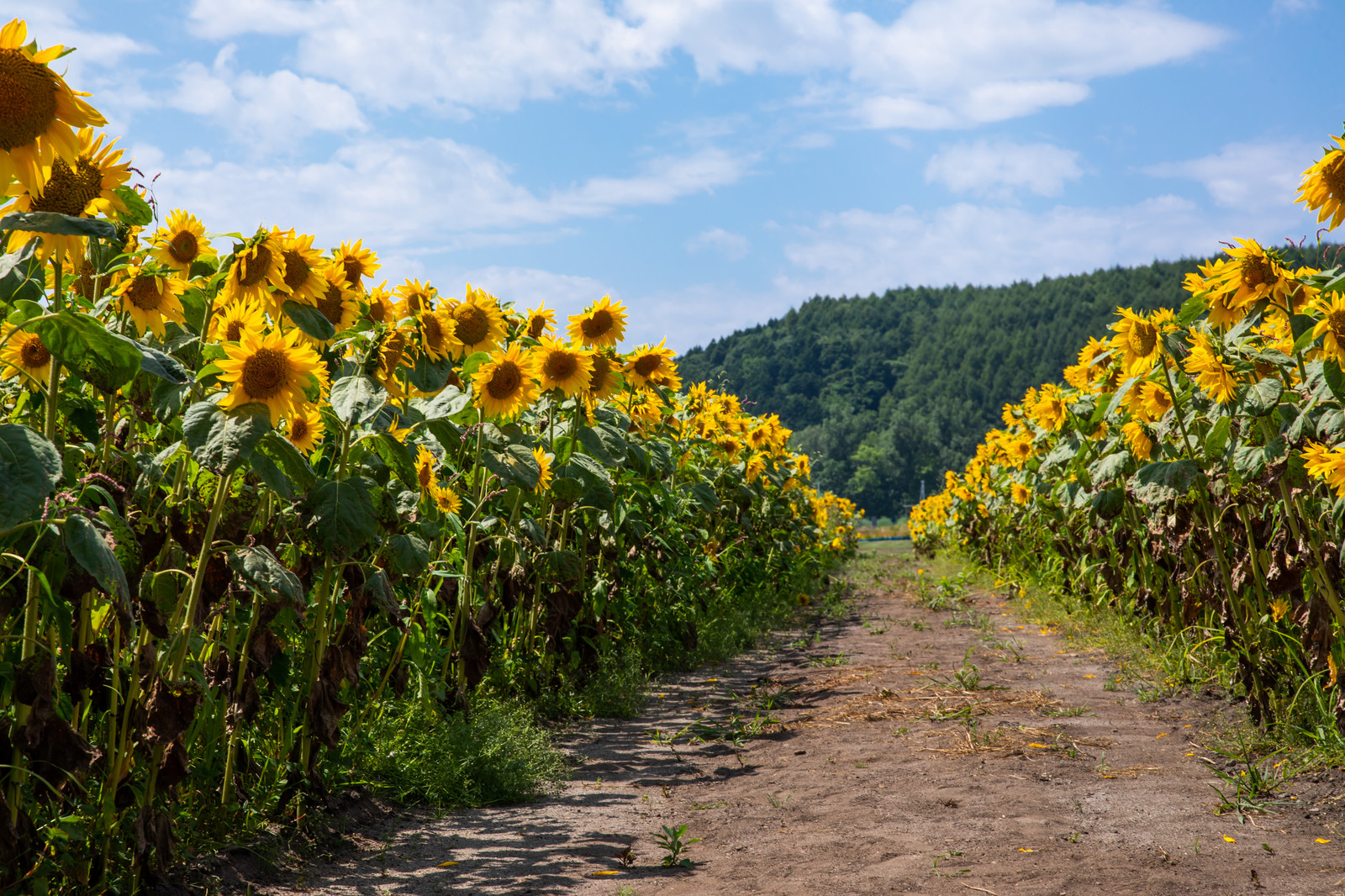 「畑の道沿いに咲く向日葵」の写真