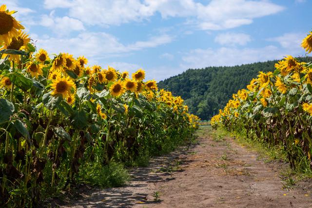畑の道沿いに咲く向日葵の写真