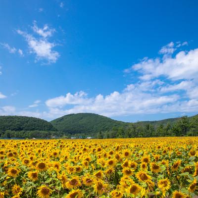 よく晴れた夏日と向日葵畑の写真