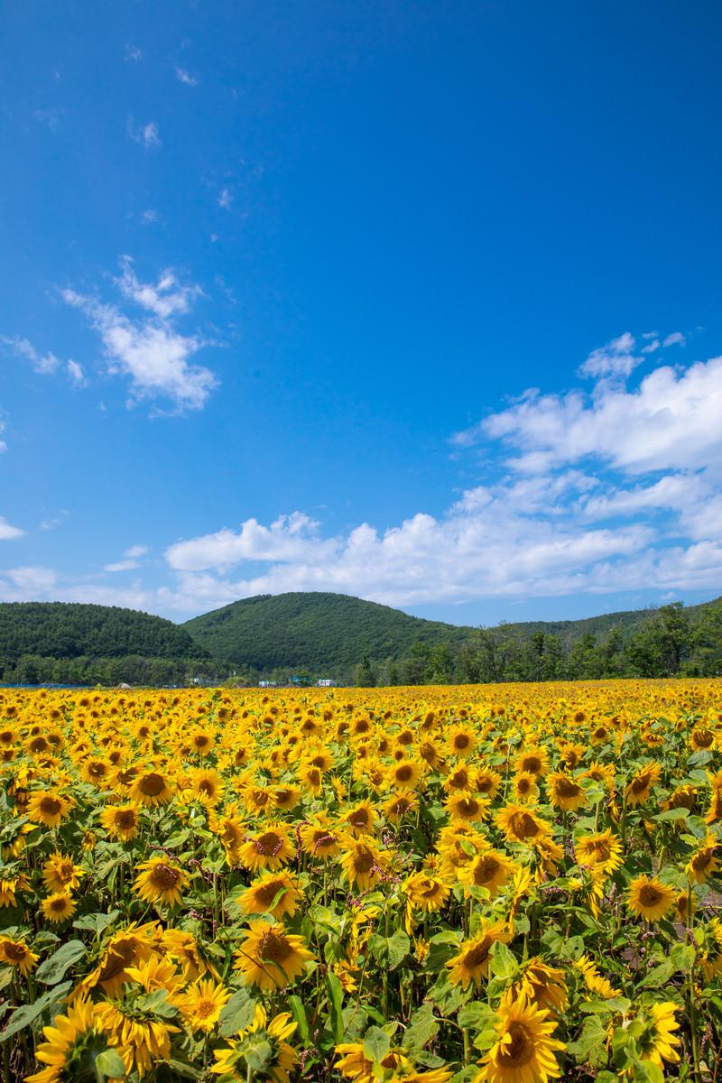 「よく晴れた夏日と向日葵畑」の写真