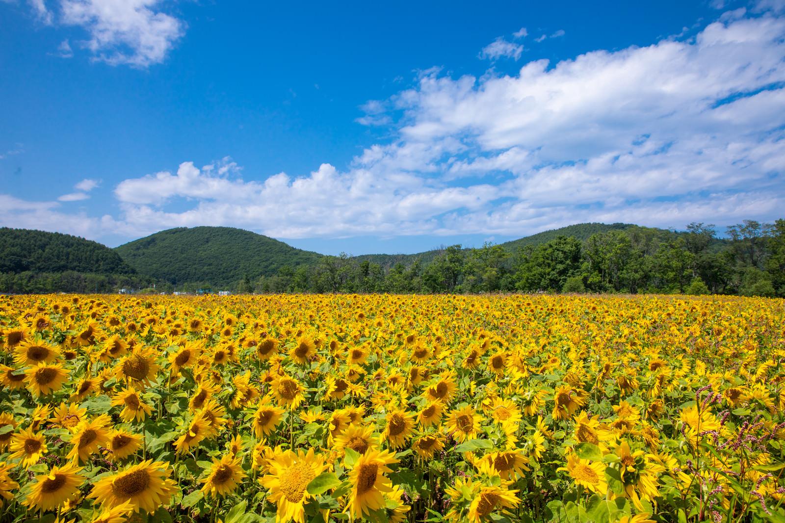 「辺り一面の向日葵畑 | 写真の無料素材・フリー素材 - ぱくたそ」の写真