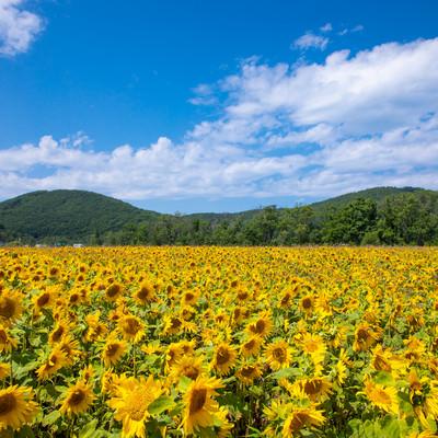 辺り一面の向日葵畑の写真