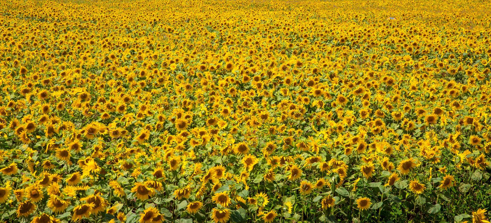 「画面いっぱいの向日葵」の写真