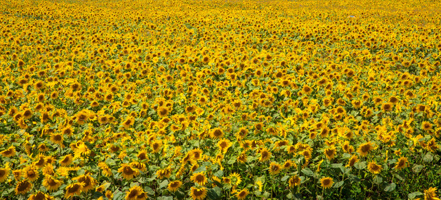 画面いっぱいの向日葵の写真