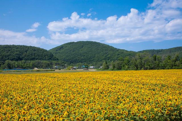 大曲湖畔のひまわり畑の写真