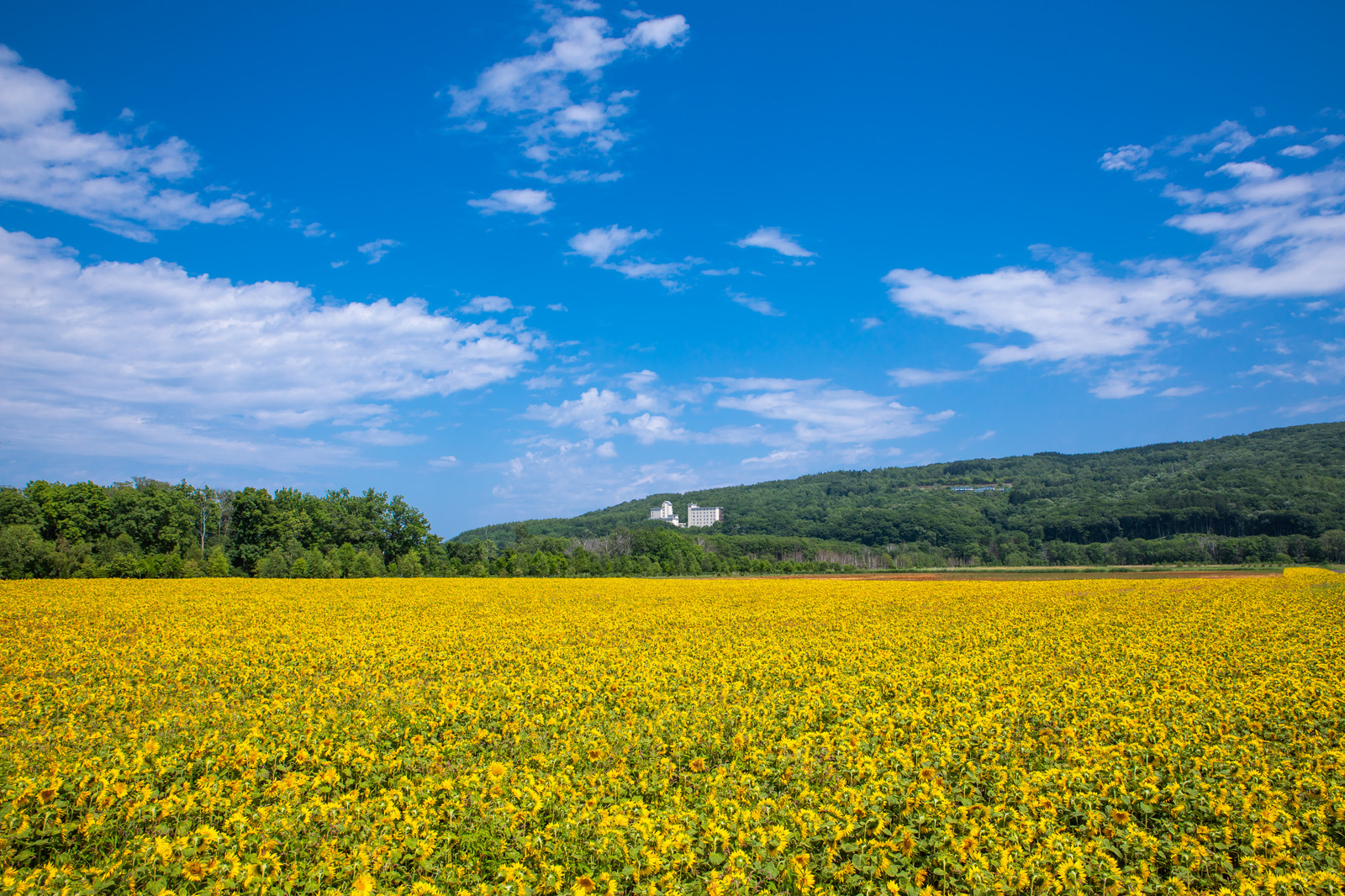 「夏空の下の黄色い絨毯   写真の無料素材・フリー素材 - ぱくたそ」の写真