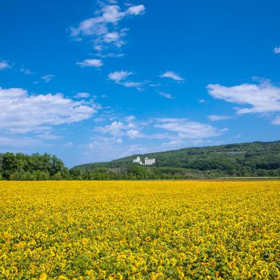 夏空の下の黄色い絨毯の写真